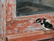 Joyce Trygg, Downey Woodpecker